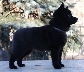 schipperke leyu sammy puppy
