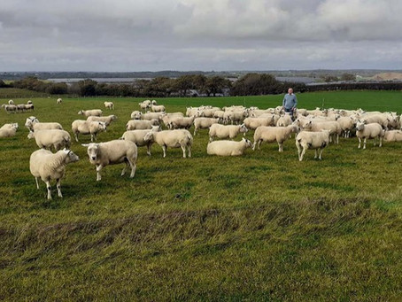 Meat from grazed grass through management and breeding