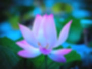 Flower-lotus-petals-dawn_1920x1440B.jpg