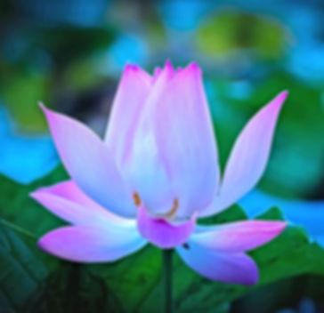 Flower-lotus-petals-dawn_1920x1440Ba.jpg