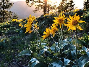 Arnica-Montana-Flower.jpg