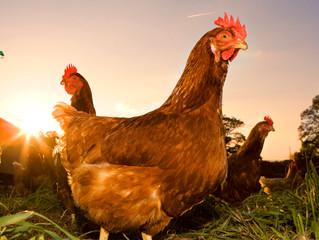 ÉTHIOPIE - MALARIA : L'odeur du poulet éloigne le moustique responsable de la malaria