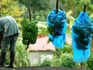 SANTE - CARAIBES : CANCER DE LA PROSTATE ET CHLORDECONE : LE LIEN EST ETABLI