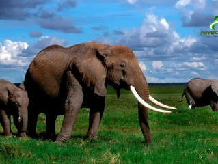 KENYA - IVOIRE : Le Kenya va brûler 105 tonnes d'ivoire