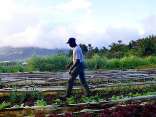 MARTINIQUE - AGRICULTURE : Ils défendent l'agriculture traditionnelle en Martinique