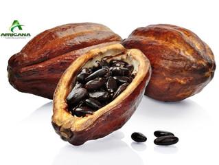 COTE D'IVOIRE - CACAO : Fraude sur l'exportation du Cacao - Le pays perd 2500 milliards Fcfa