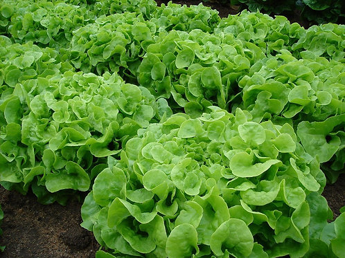 Oakleaf Lettuce W