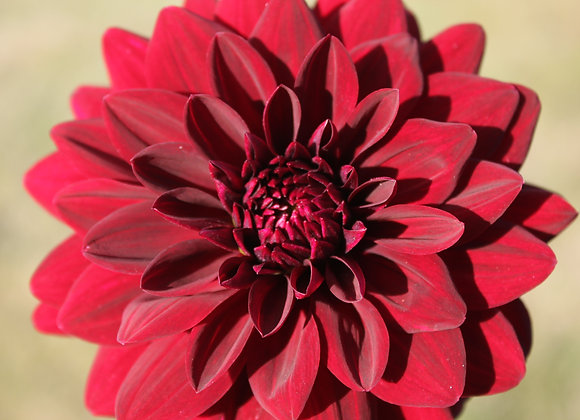 Dahlia tuber - Arabian Night