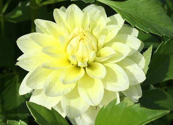 Dahlia tuber - Lemon Drops