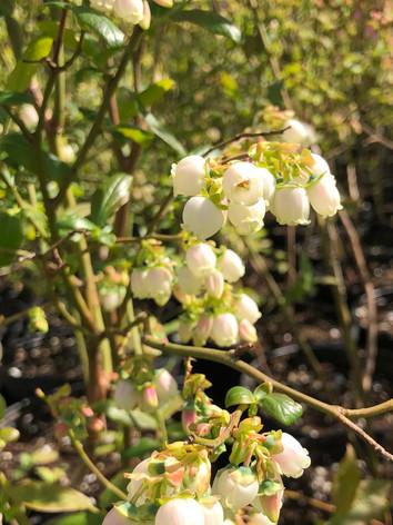 Buzzing Berries
