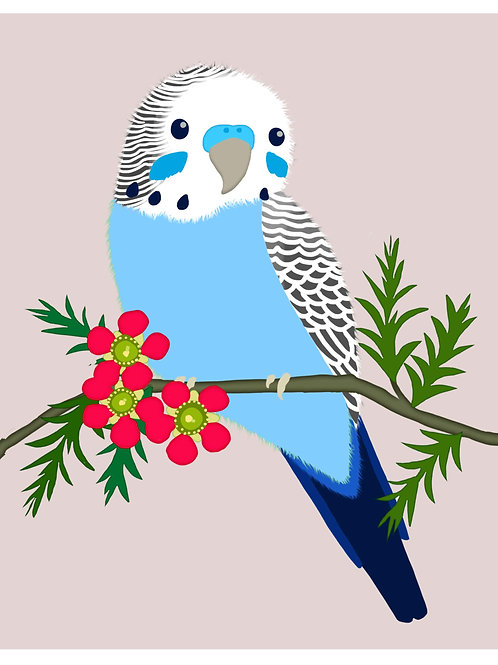 Blue Budgerigar on Grey