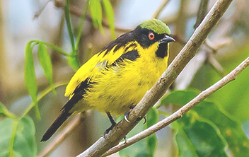 Yellow-bellied Dacnis