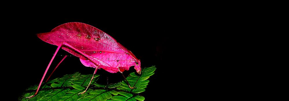 Pink Grasshooper