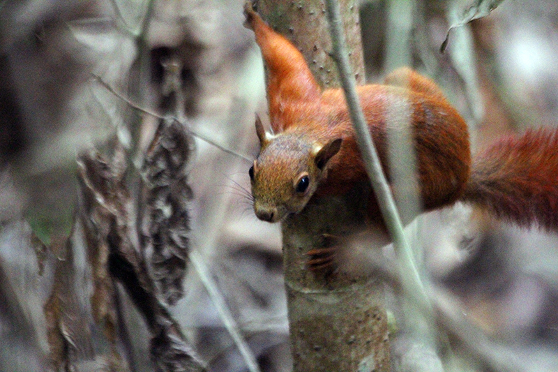 Red-tailed-Squirrel.png