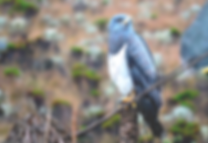 Black-chested Buzzard-Eagle