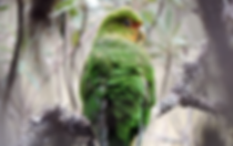 Rufous-fronted Parakeet