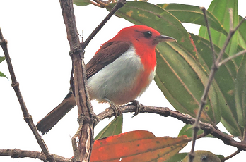 Scarlet and White Tanager