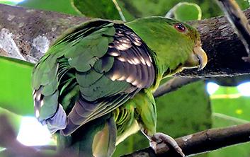 Spot-winged Parrotlet