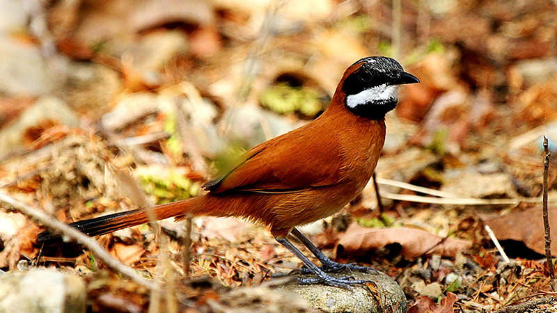 White-whiskered-Spinetail.png