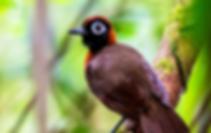 Chestnut-crested Antbird