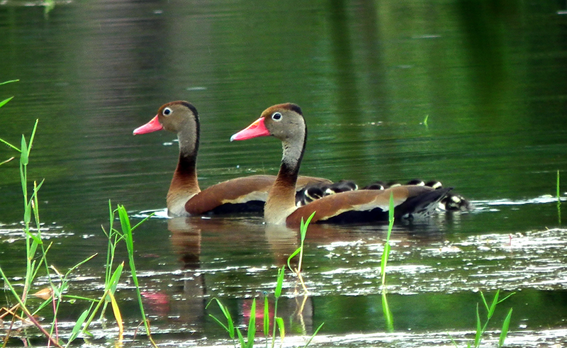 Black-bellied-Whistling-Duck.png