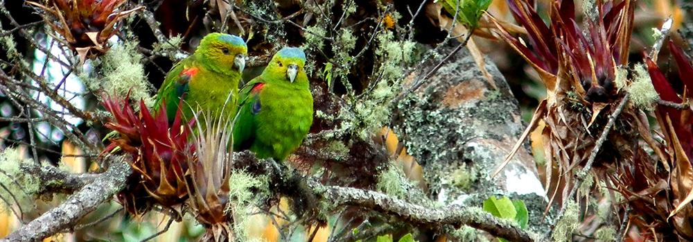 Fuerte´s Parrot