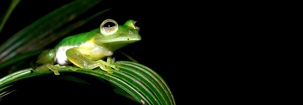 Cristal Frog