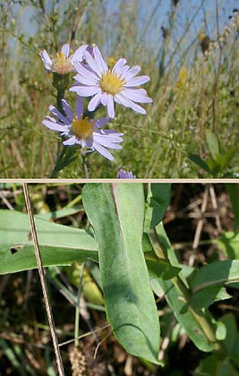 Smooth Blue Aster (Symphyotrichum laevis)