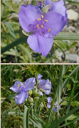 Spiderwort (Tradescantia sp)