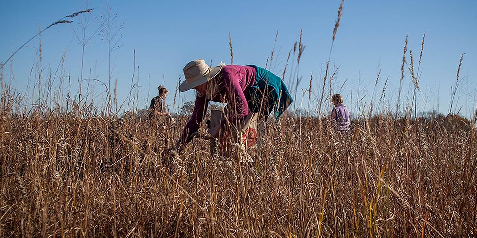 Seed Collection at Loda Cemetery Prairie