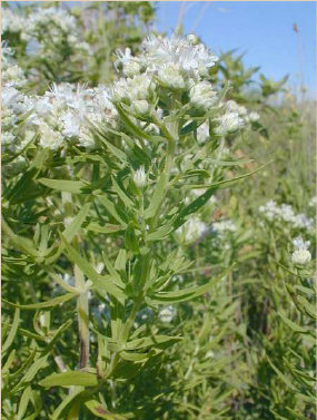 Common Mountain Mint (Pycnanthemum virginianum)