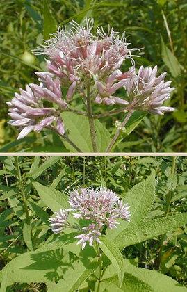 Purple Joe Pye Weed (Eutrochium purpureum)