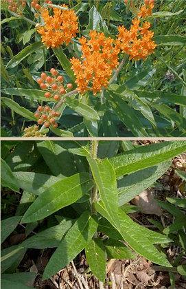 Orange Butterflyweed (Asclepias tuberosa)
