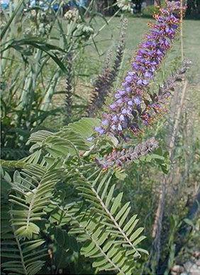 Lead Plant (Amorpha canescens)