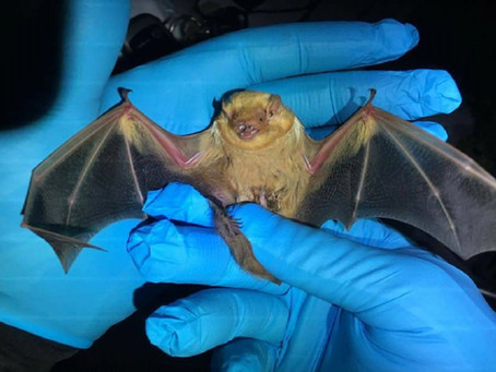 Project succeeds in increasing east-central Illinois bat population