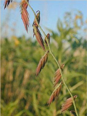 Side-oats Grama (Bouteloua curtipendula)