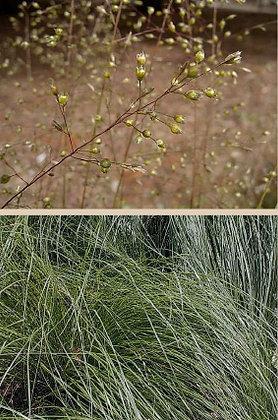 Northern/Prairie Drop Seed (Sporobolus heterolepis)