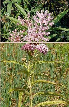 Rose (swamp) Milkweed (Asclepias incarnata)