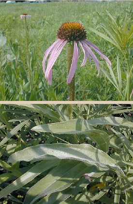 Pale Purple Coneflower (Echinacea pallida)