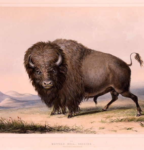 Buffalo Bull, Grazing.jpeg