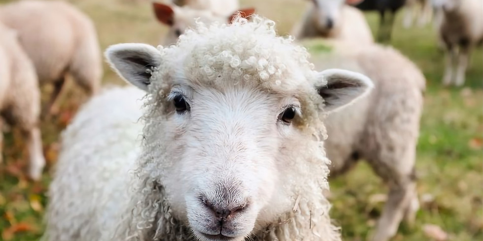 4-H Mini Day Camp: From Sheep  to Chic
