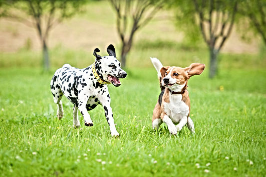 Dalmatian dog playing with beagle.jpg