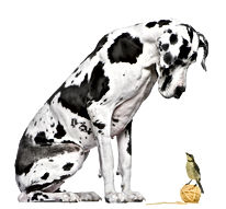 Great Dane Harlequin sitting in front of