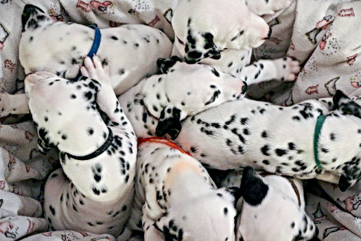dalmatian puppies cute.jpg