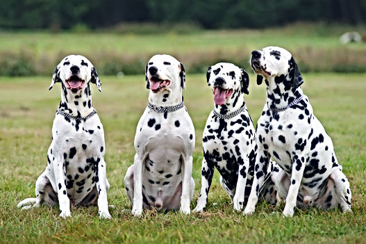 Group of four obedient Dalmatian dogs si