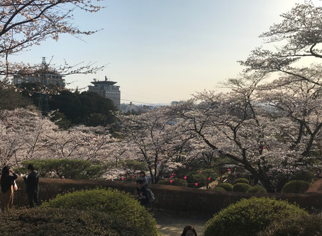 八幡山公園の桜と花見