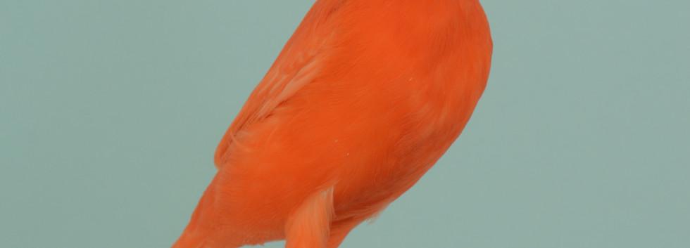008 kl kanarie lipochoom rood intensief
