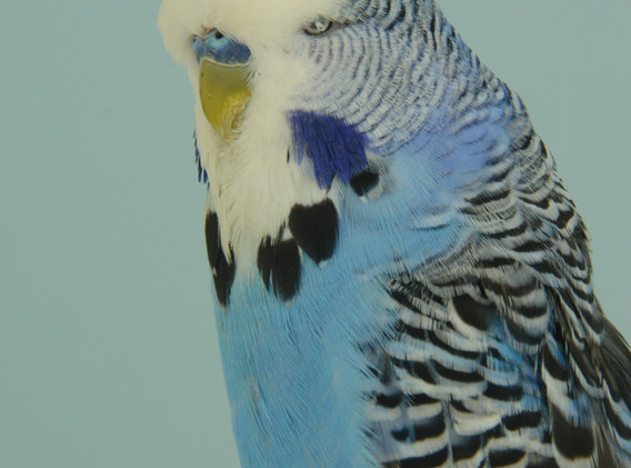 449 grasparkiet kobaltblauw van rooyen.J