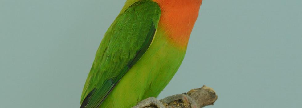 536 agapornis fischeri opaline groen kap