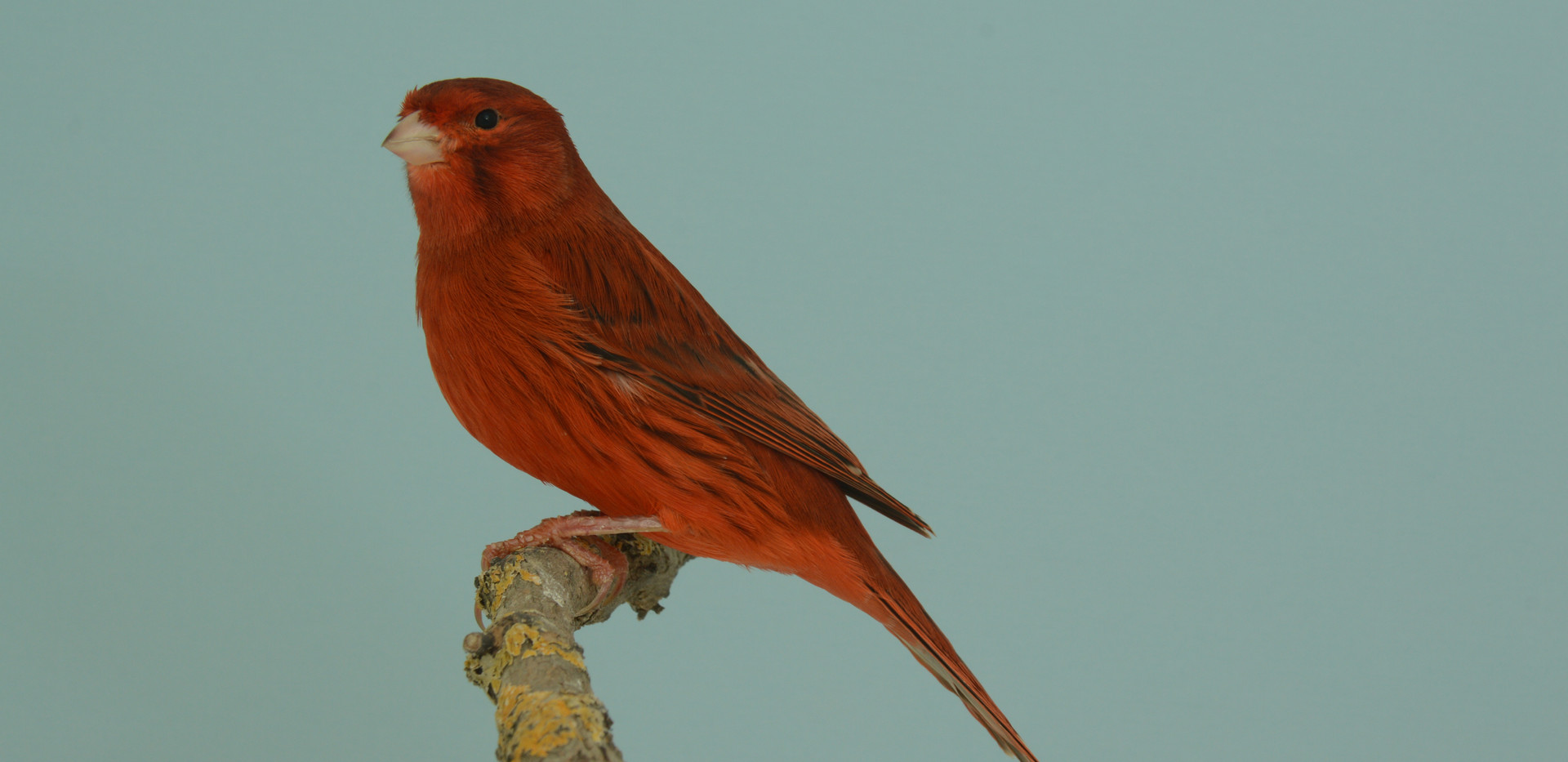073 hollander kleurkanarie agaat rood in